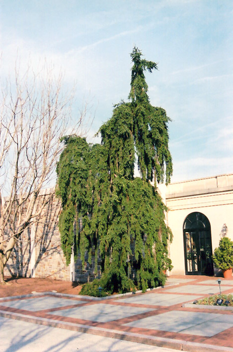 Weeping Norway Spruce Picea Abies Pendula At Longfellows Greenhouses