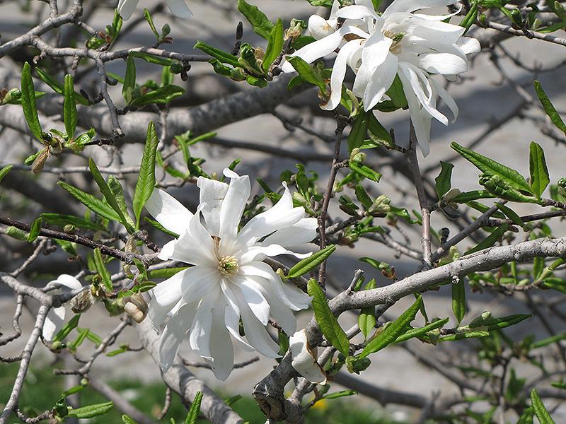 Royal Star Magnolia Magnolia Stellata Royal Star In Augusta