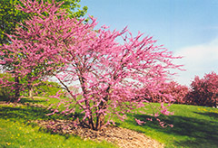 Northern Strain Redbud (Cercis canadensis 'Northern Strain') at Longfellow's Greenhouses