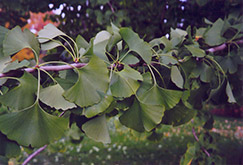 Ginkgo (Ginkgo biloba) at Longfellow's Greenhouses