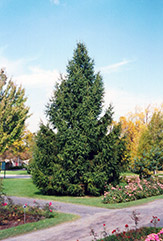 Norway Spruce (Picea abies) at Longfellow's Greenhouses