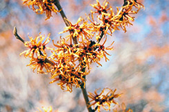 Vernal Witchhazel (Hamamelis vernalis) at Longfellow's Greenhouses