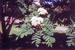 Showy Mountain Ash (Sorbus decora) at Longfellow's Greenhouses