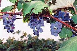 Concord Grape (Vitis 'Concord') at Longfellow's Greenhouses