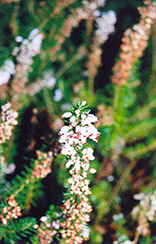 Scotch Heather (Calluna vulgaris) at Longfellow's Greenhouses