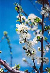 Mount Royal Plum (Prunus 'Mount Royal') at Longfellow's Greenhouses