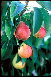 Summercrisp Pear (Pyrus 'Summercrisp') at Longfellow's Greenhouses