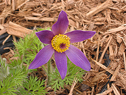 Papageno Pasqueflower (Pulsatilla vulgaris 'Papageno') at Longfellow's Greenhouses