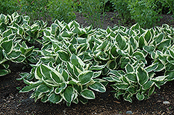 Minuteman Hosta (Hosta 'Minuteman') at Longfellow's Greenhouses