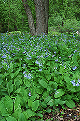 Virginia Bluebells (Mertensia virginica) at Longfellow's Greenhouses