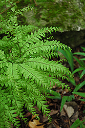Northern Maidenhair Fern (Adiantum pedatum) at Longfellow's Greenhouses