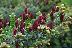 Red Cone Spruce (Picea abies 'Acrocona') at Longfellow's Greenhouses