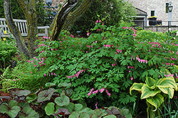 Common Bleeding Heart (Dicentra spectabilis) at Longfellow's Greenhouses
