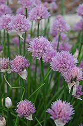 Chives (Allium schoenoprasum) at Longfellow's Greenhouses