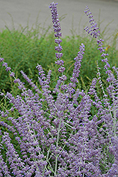 Russian Sage (Perovskia atriplicifolia) at Longfellow's Greenhouses