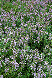 Arctic Wooly Thyme (Thymus praecox 'var. arcticus') at Longfellow's Greenhouses