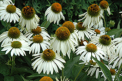 White Swan Coneflower (Echinacea purpurea 'White Swan') at Longfellow's Greenhouses