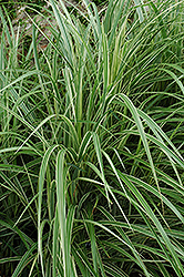 Variegated Silver Grass (Miscanthus sinensis 'Variegatus') at Longfellow's Greenhouses