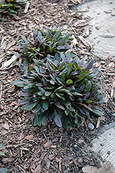 Chocolate Chip Bugleweed (Ajuga reptans 'Chocolate Chip') at Longfellow's Greenhouses