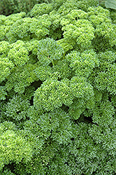 Parsley (Petroselinum crispum) at Longfellow's Greenhouses