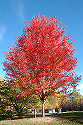 Autumn Blaze Maple (Acer x freemanii 'Jeffersred') at Longfellow's Greenhouses