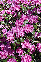 P.J.M. Rhododendron (Rhododendron 'P.J.M.') at Longfellow's Greenhouses