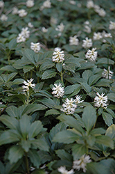 Japanese Spurge (Pachysandra terminalis) at Longfellow's Greenhouses