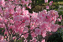 Cornell Pink Rhododendron (Rhododendron mucronulatum 'Cornell Pink') at Longfellow's Greenhouses