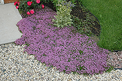 Red Creeping Thyme (Thymus praecox 'Coccineus') at Longfellow's Greenhouses