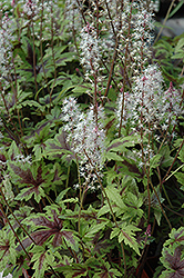 Sugar And Spice Foamflower (Tiarella 'Sugar And Spice') at Longfellow's Greenhouses
