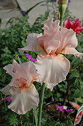 Beverly Sills Iris (Iris 'Beverly Sills') at Longfellow's Greenhouses