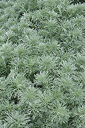 Silver Mound Artemesia (Artemisia schmidtiana 'Silver Mound') at Longfellow's Greenhouses