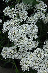 Alexander White Candytuft (Iberis sempervirens 'Alexander White') at Longfellow's Greenhouses