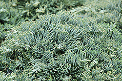 Icee Blue Juniper (Juniperus horizontalis 'Icee Blue') at Longfellow's Greenhouses