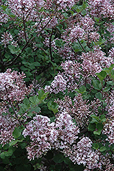 Dwarf Korean Lilac (Syringa meyeri 'Palibin') at Longfellow's Greenhouses