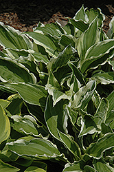 White-Variegated Hosta (Hosta undulata 'Albomarginata') at Longfellow's Greenhouses