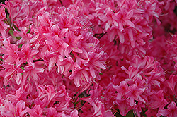 Rosy Lights Azalea (Rhododendron 'Rosy Lights') at Longfellow's Greenhouses