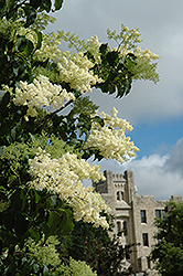 Ivory Silk Japanese Tree Lilac (Syringa reticulata 'Ivory Silk') at Longfellow's Greenhouses