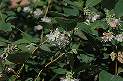 Snowberry (Symphoricarpos albus) at Longfellow's Greenhouses