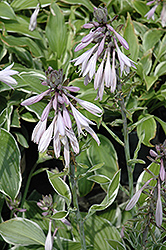 Francee Hosta (Hosta 'Francee') at Longfellow's Greenhouses