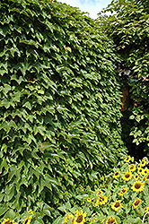 Boston Ivy (Parthenocissus tricuspidata) at Longfellow's Greenhouses
