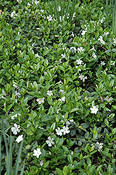 White Periwinkle (Vinca minor 'Alba') at Longfellow's Greenhouses