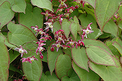 Bishop's Hat (Epimedium x rubrum) at Longfellow's Greenhouses