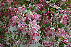 Louisa Flowering Crab (Malus 'Louisa') at Longfellow's Greenhouses