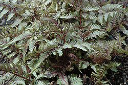 Red Beauty Painted Fern (Athyrium nipponicum 'Red Beauty') at Longfellow's Greenhouses