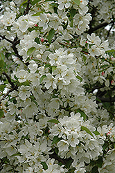 Donald Wyman Flowering Crab (Malus 'Donald Wyman') at Longfellow's Greenhouses