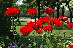 Beauty of Livermere Poppy (Papaver orientale 'Beauty of Livermere') at Longfellow's Greenhouses