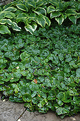 Canadian Wild Ginger (Asarum canadense) at Longfellow's Greenhouses