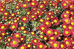 Red Daisy Chrysanthemum (Chrysanthemum 'Red Daisy') at Longfellow's Greenhouses