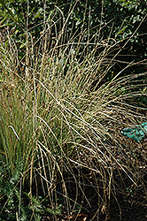 Blue Arrows Rush (Juncus inflexus 'Blue Arrows') at Longfellow's Greenhouses
